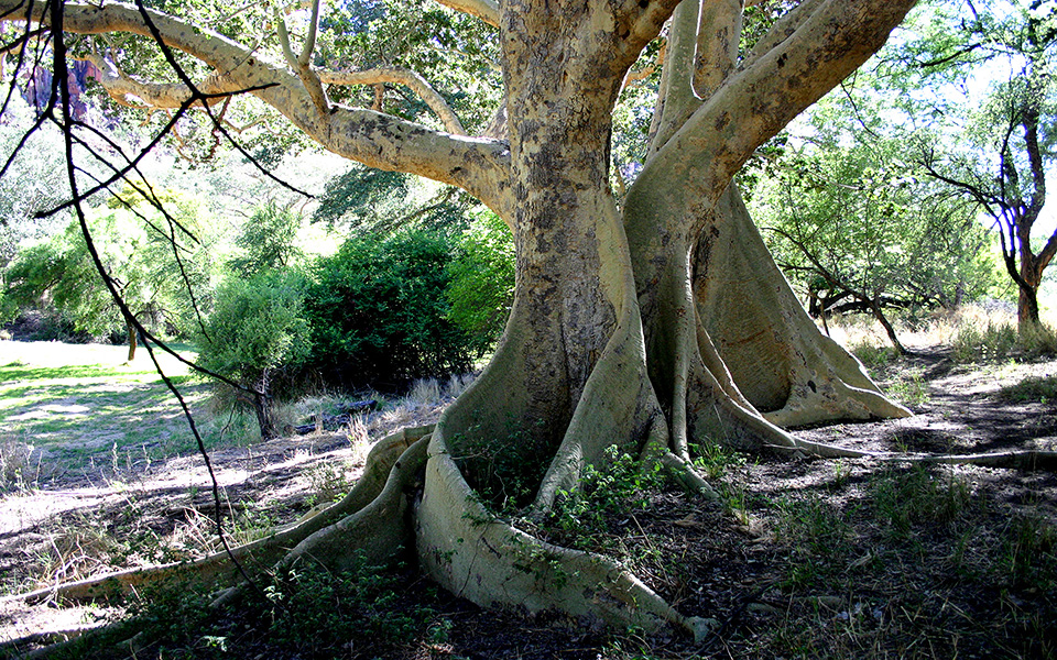 Sycamore Fig with buttress root at the Waterberg